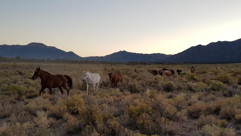chevaux à l'aube