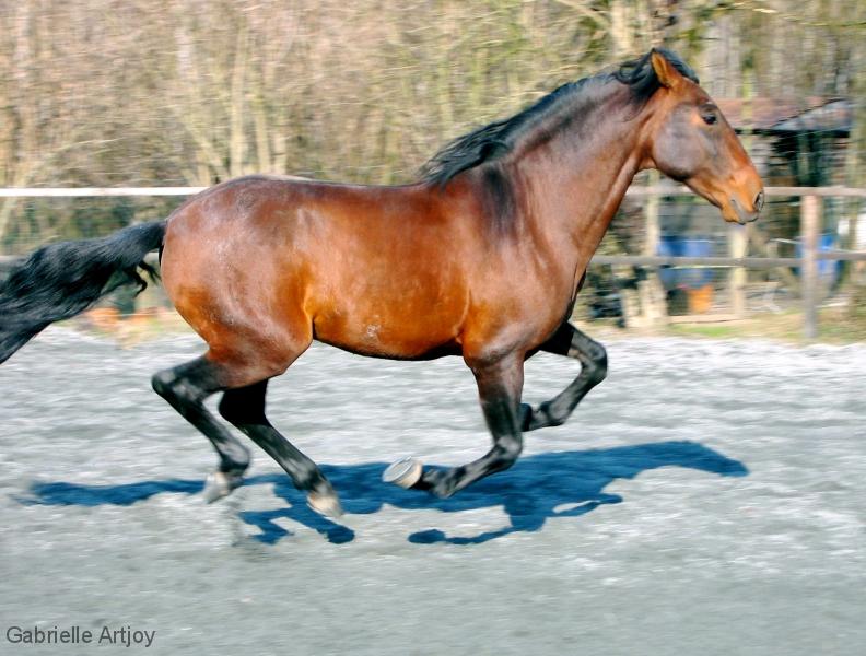 cheval pur sang lusitanien bai au galop