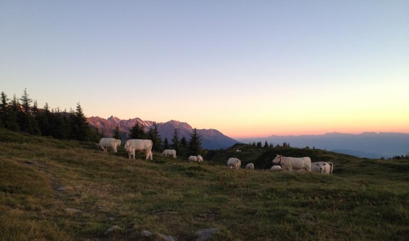 Vaches dans Belledonne