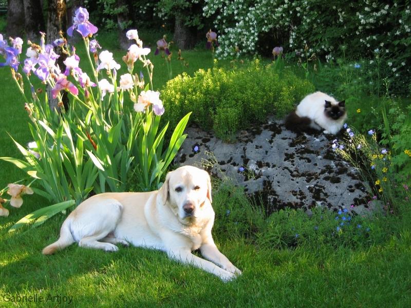 chien labrador et chatte Sacrée de Birmanie