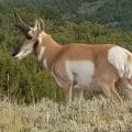 Pronghorn Antelope<br />