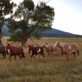 chevaux à l'aube<br />
