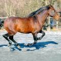 cheval pur sang lusitanien bai au galop<br />