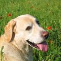 chien labrador<br />