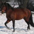 cheval pur sang lusitanien bai dans la neige<br />