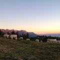 Vaches dans Belledonne<br />