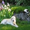 chien labrador et chatte Sacrée de Birmanie<br />