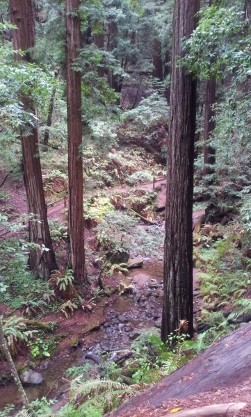 Sequoias, Muir Woods