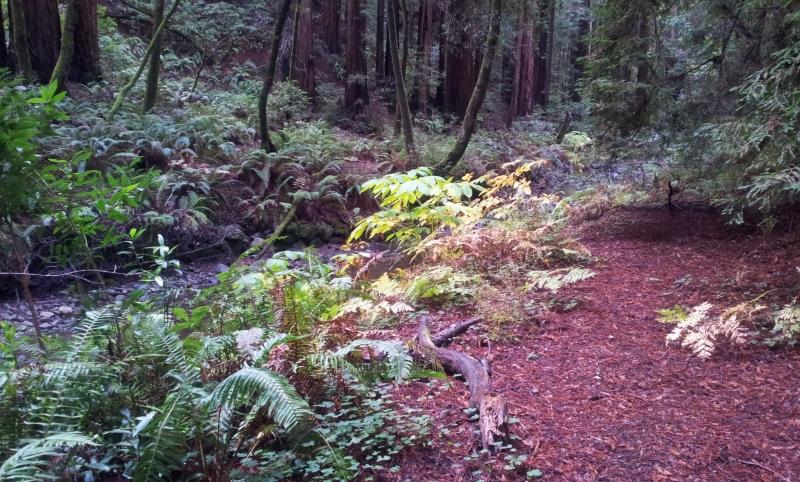 Sequoias, Muir Woods