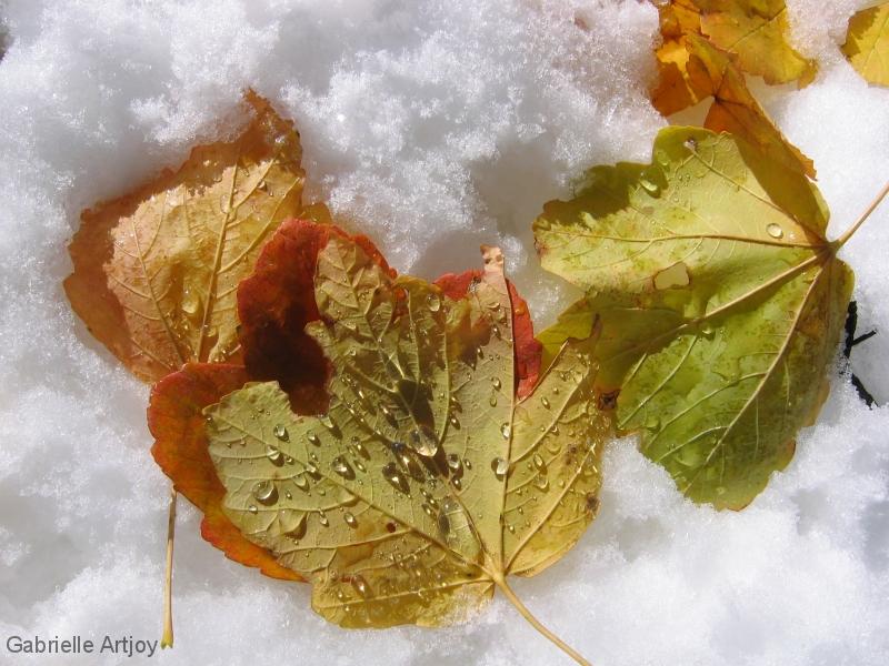 feuilles d'érable sur la neige