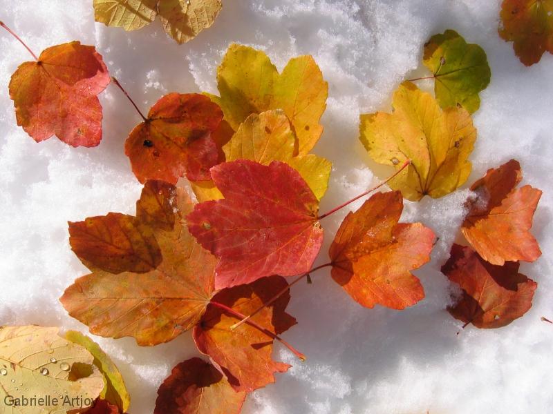 feuilles d'érables sur la neige