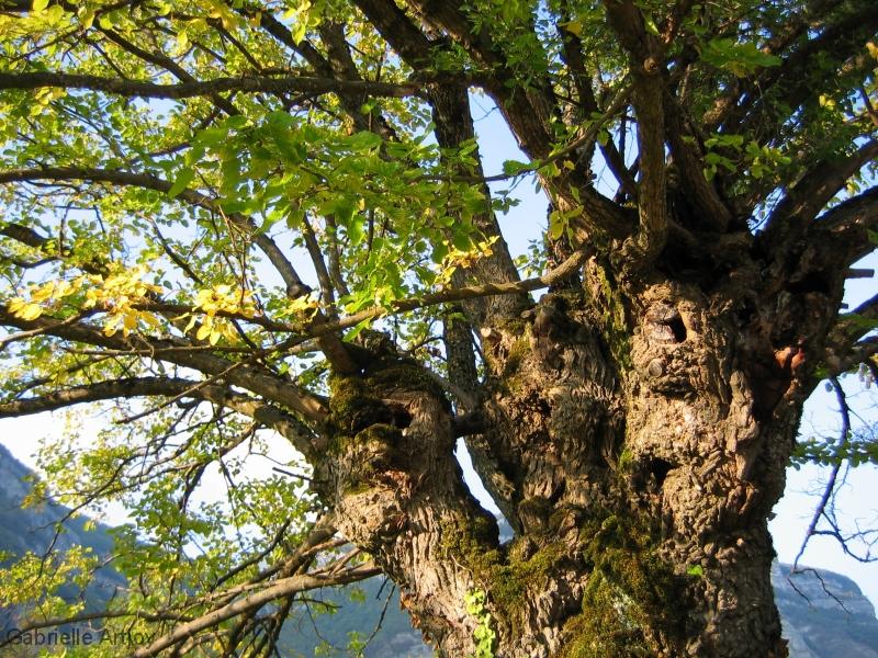 vieil arbre noueux