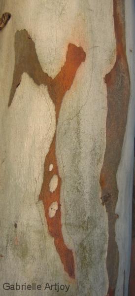 écorce d'eucalyptus