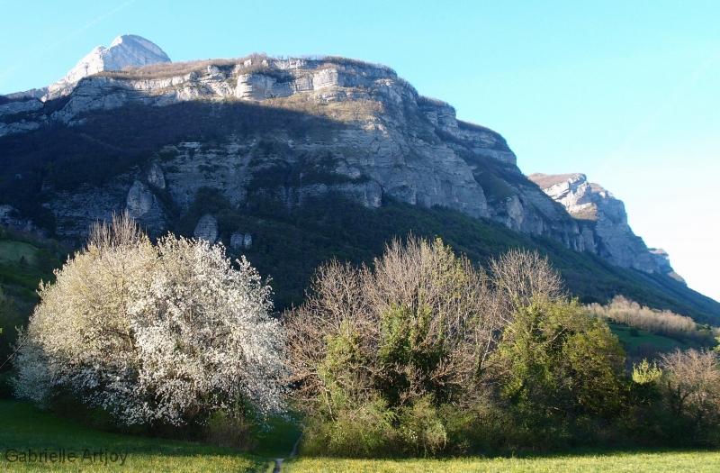cerisiers en fleurs au soleil couchant devant la Chartreuse