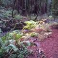 Sequoias, Muir Woods<br />