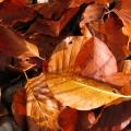 feuilles de hêtre en automne<br />