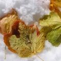 feuilles d'érable sur la neige<br />