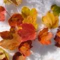 feuilles d'érables sur la neige<br />