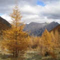 mélèzes en automne<br />