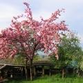 cerisier du japon en fleurs<br />