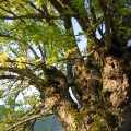 vieil arbre noueux<br />