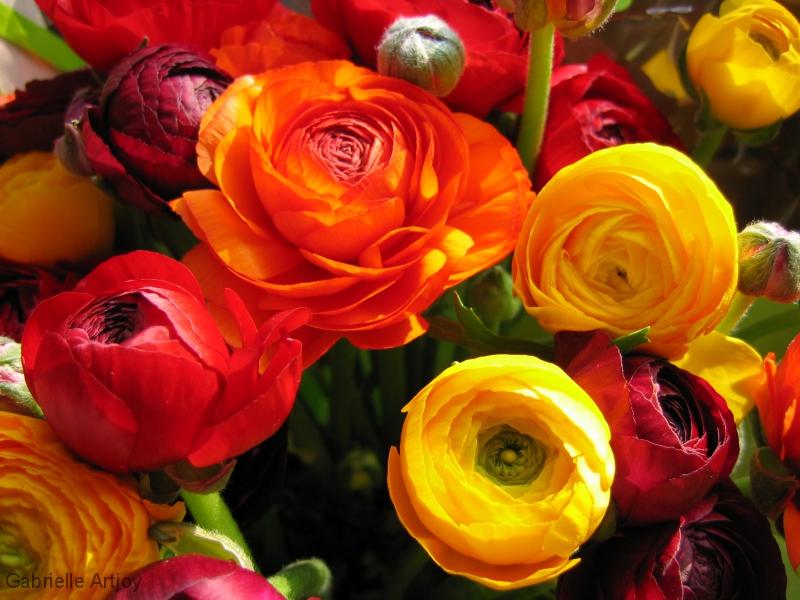 renoncules jaunes, oranges et rouges