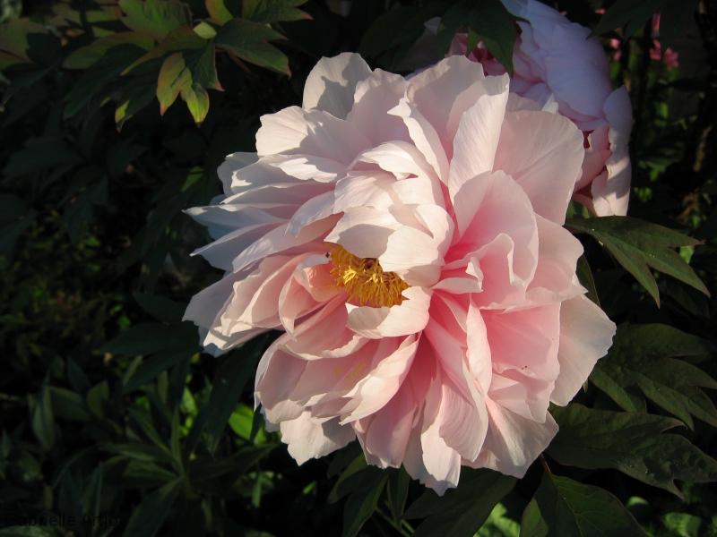 pivoine rose pâle