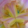 coeur d'iris mauve<br />