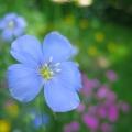 lin bleu<br />