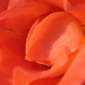 rose<br />
