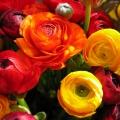 renoncules jaunes, oranges et rouges<br />