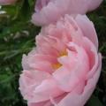 pivoine rose pâle<br />