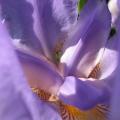 coeur d'iris violet clair<br />