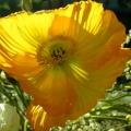 pavot jaune<br />
